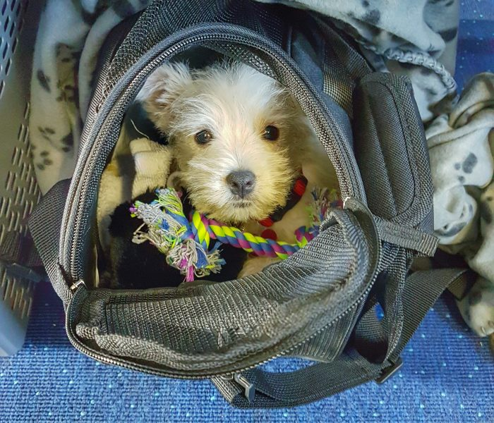 Tips and Tricks for Flying With a Puppy