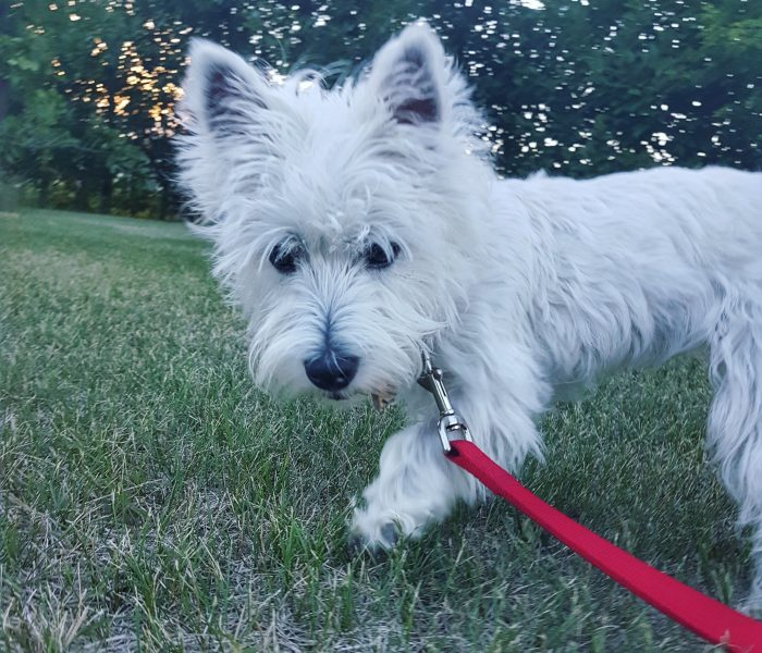 Weekend with a Westie, Part II