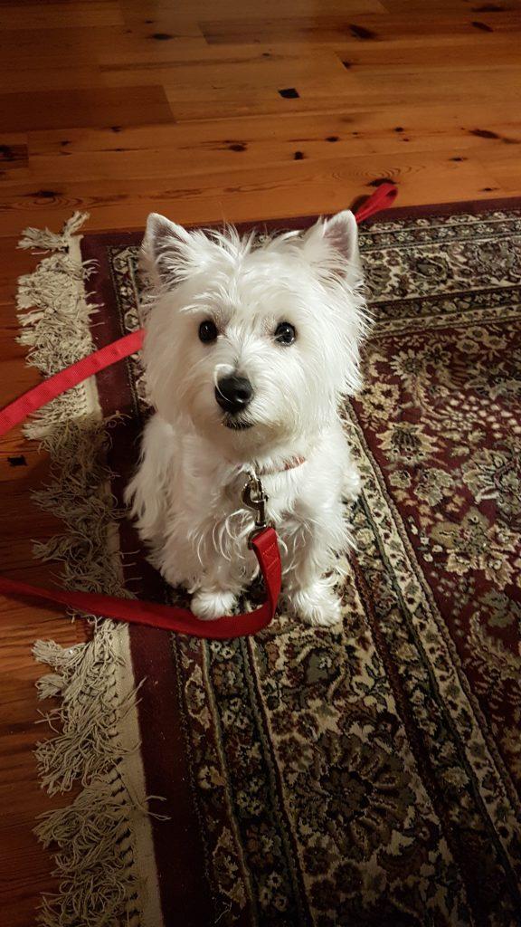 A West Highland White Terrier Puppy