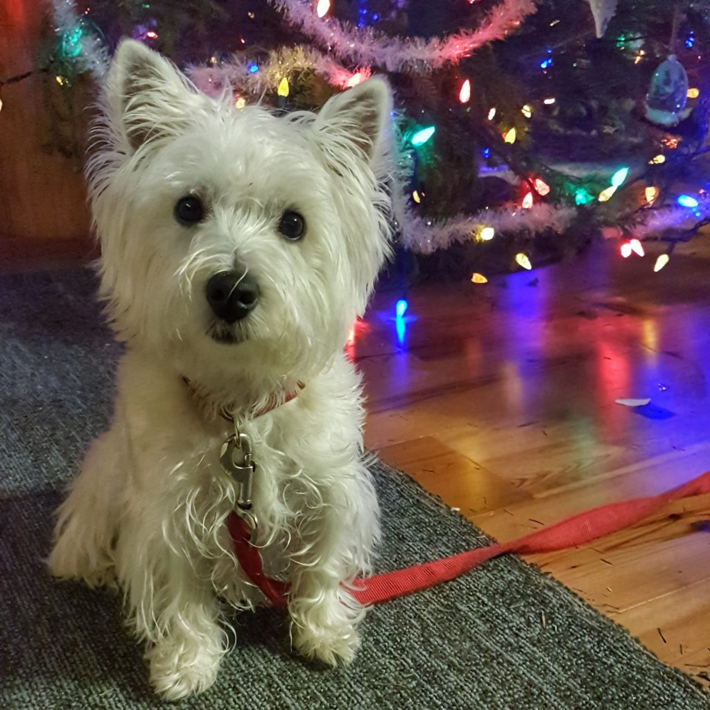 Agnes the Little Westie in Front of the Christmas Tree