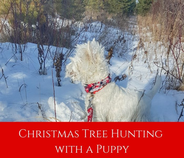 Christmas Tree Hunting with a Puppy